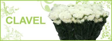 Clavel | Flores Torrecillas