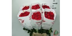 Rosa Freedom 70cm