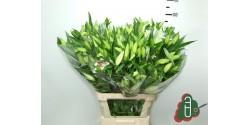 Lilium Oriental Blanco