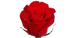 Rosa Freedom 50cm
