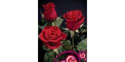 Rosa Freedom Naranjo 70cm