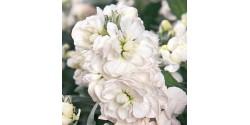 Alhelí Blanco 50cm