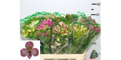 Alstroemeria Rosa 70cm