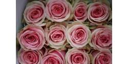 Rosa Geraldine 50cm