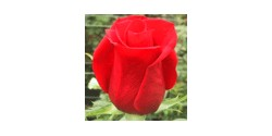 Rosa Freedom Colombia 60cm