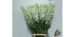 Delphinium Blanco